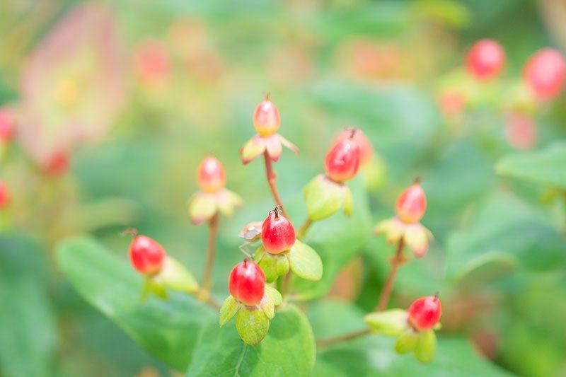 ヒペリカムの赤い実